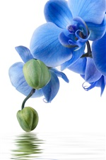 Preview iPhone wallpaper Blue phalaenopsis, water, white background