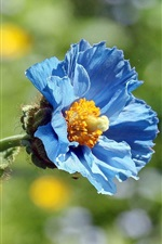 Preview iPhone wallpaper Blue poppy flower