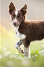 Border collie, brown dog look back