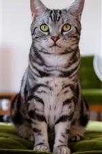 Preview iPhone wallpaper British kitten, chair, green eyes