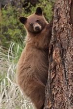 iPhone fondos de pantalla Árbol de la subida del oso pardo