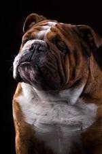 Preview iPhone wallpaper Bulldog, black background