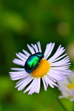 Preview iPhone wallpaper Chamomile, beetle, insect