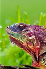 Preview iPhone wallpaper Colorful chameleon, reptile, green background