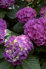 Colorful hydrangea flowers, pink and yellow petals
