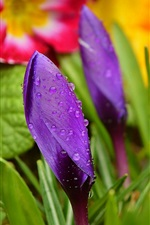 Preview iPhone wallpaper Crocuses, purple flower bud, water drops