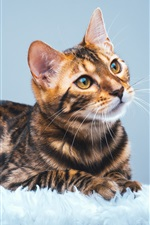 Cute Bengal cat look up