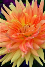 Preview iPhone wallpaper Dahlia, orange petals