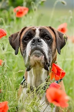 Preview iPhone wallpaper Dog, red poppy flowers, summer