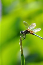 Dragonfly, insect, green background