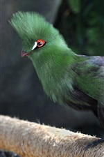 Preview iPhone wallpaper Dubai, common turaco, bird, green feathers