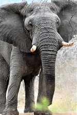 Preview iPhone wallpaper Elephant look at you, trees