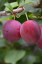 iPhone fondos de pantalla Ciruelas frescas, fruta, árbol, hojas