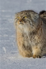 Preview iPhone wallpaper Furry wild cat, yellow eyes, snow, winter