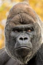 미리보기 iPhone 배경 화면 고릴라, 원숭이, 보케