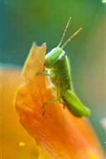 Preview iPhone wallpaper Grasshopper, petals