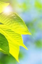 Green leaves, glare, nature