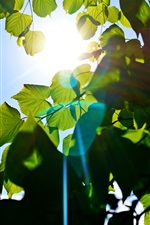 Preview iPhone wallpaper Green leaves, tree, blue sky, sun rays