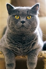 Preview iPhone wallpaper Grey British cat front view, face, chair