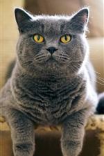 iPhone fondos de pantalla Vista frontal del gato británico gris, cara, silla