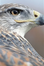 Preview iPhone wallpaper Hawk back view, head, beak