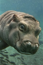 Preview iPhone wallpaper Hippos swim in underwater