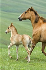 Preview iPhone wallpaper Horse, family, mother and cub