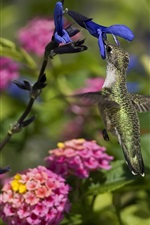 Preview iPhone wallpaper Hummingbird eating nectar, blue and pink flowers