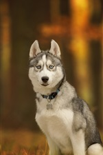 Preview iPhone wallpaper Husky dog sit on ground, autumn