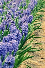 ヒヤシンス、青い花畑