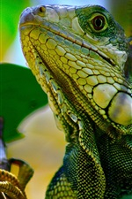 Preview iPhone wallpaper Iguana in tree