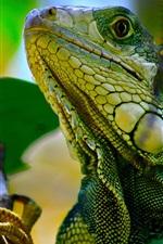 iPhone fondos de pantalla Iguana en el árbol