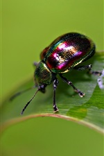 Preview iPhone wallpaper Insect, beetle, wet green leaf