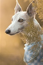 Preview iPhone wallpaper Italian Greyhound, dog, portrait