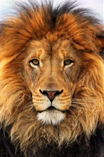 Preview iPhone wallpaper King of beasts, lion, manes, face