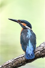 Preview iPhone wallpaper Kingfisher, birds, tree, blurry background
