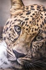 Preview iPhone wallpaper Leopard, head, face, portrait