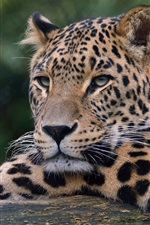 Preview iPhone wallpaper Leopard, wildlife, paw