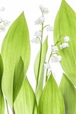 iPhone壁紙のプレビュー 谷のユリ、緑の葉、白い背景