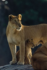 Preview iPhone wallpaper Lion family, stones, backlight