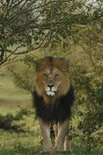 iPhone fondos de pantalla Vista frontal del león, depredador, árboles
