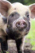 미리보기 iPhone 배경 화면 작은 돼지보기, 정면보기, 코