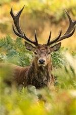 London, Richmond Park, red deer, horns, bushes