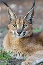 Preview iPhone wallpaper Lynx, predator, face, yellow eyes