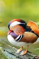 Preview iPhone wallpaper Mandarin duck, rest, water