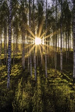 Preview iPhone wallpaper Morning, birch forest, sun rays, glare