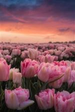 iPhone fondos de pantalla Países Bajos, muchos tulipanes rosados, mañana, campo de flores, salida del sol