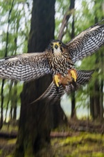 New Zealand Falcon, flight, wings, bokeh