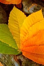 iPhone обои Оранжевые и зеленые листья, осень