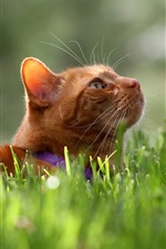 Preview iPhone wallpaper Orange cat, green grass, summer